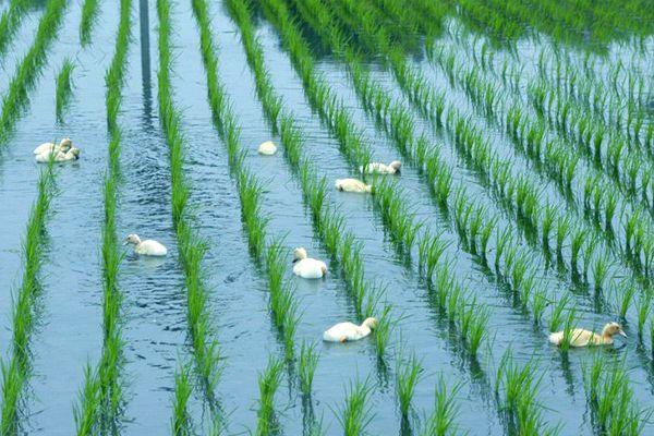 三星稻鴨米
