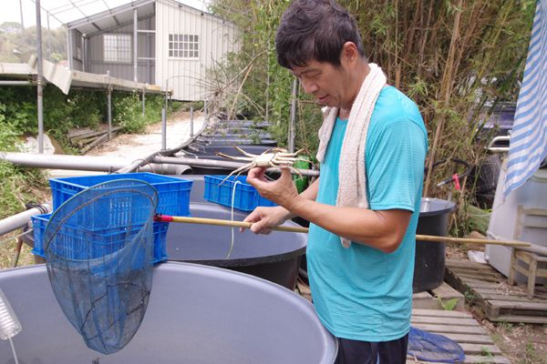 台灣大閘蟹