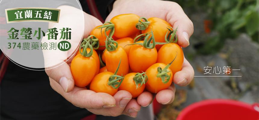 金瑩小番茄