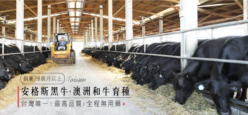 國產安格斯黑牛×澳洲和牛育種